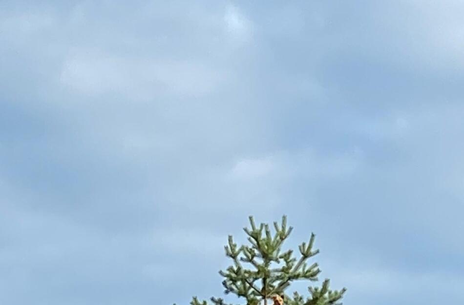 FOTO: Daugavpils pusē koka galotnē uzrāpies suns